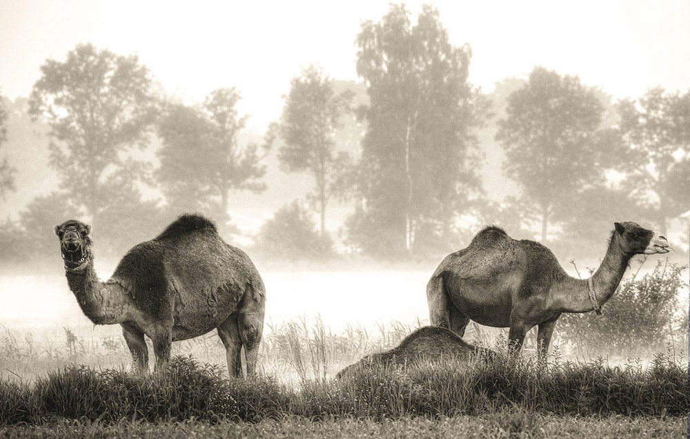 Chamelfarm in Berlicum (kamelenboerderij)