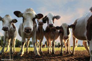 Brabant-Fotografie-koeien-berlicum.jpg