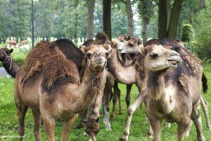 berlicum-fotografie-kamelen.jpg