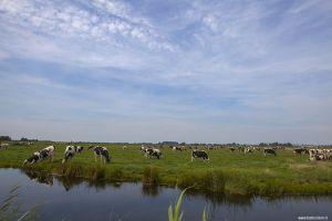 cows-koeien-holland-nederland.jpg