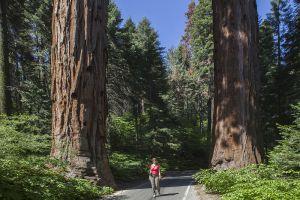 Sequoia - Californoa